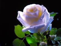 Belleza hermosa de rosas imagen de archivo libre de regalías