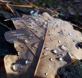 Belleza madura Rocío de la mañana en las hojas del roble foto de archivo libre de regalías