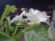 Belleza natural de las flores hermosas del lirio fotografía de archivo libre de regalías