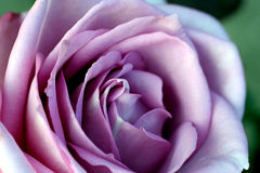 Belleza púrpura Foto de archivo