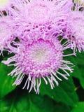 Belleza púrpura imagen de archivo
