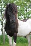 belleza potencia Dom negro blanco Ojo oídos clavija pets Ansiedad Relájese dreamstime Amor Caballo caballo-ojo pelo semental Imagen de archivo