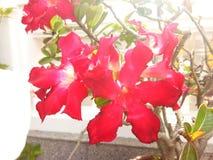 Belleza roja del pétalo de la flor en naturaleza Fotos de archivo libres de regalías