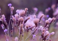 Belleza romántica de la naturaleza del cardo Foto de archivo libre de regalías