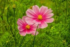 Belleza rosada Fotografía de archivo