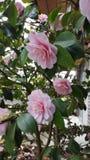 Belleza rosada foto de archivo libre de regalías