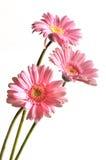 Belleza rosada Fotos de archivo libres de regalías