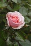 Belleza rosada en el jardín Fotografía de archivo libre de regalías