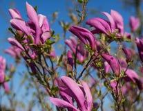 Belleza rosada, stellata de la magnolia Imagenes de archivo