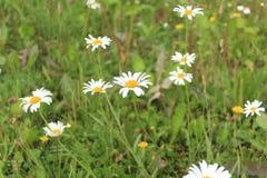 Belleza y paz en un campo de margaritas Imagen de archivo libre de regalías
