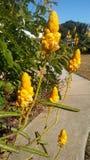 Bellezas amarillas Foto de archivo
