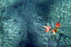 Bellezas del arce Fotos de archivo libres de regalías