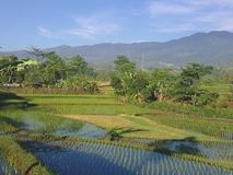 Bellezas del campo del arroz Fotos de archivo libres de regalías