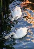 Bellezas del cisne mudo Imágenes de archivo libres de regalías