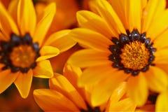 Bellezza arancione Fotografia Stock