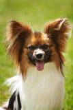 Bellezza del cane di Papillon Immagini Stock