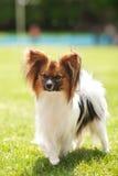 Bellezza del cane di Papillon Fotografia Stock Libera da Diritti