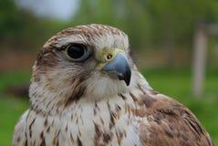 Bellezza del falco Fotografia Stock Libera da Diritti
