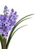 Bellezza del fiore di Bluebell Fotografia Stock