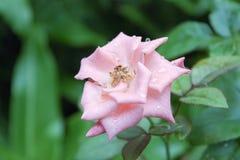 Bellezza del fiore di colore rosa 4 fotografia stock