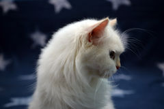 Bellezza del gatto Fotografia Stock Libera da Diritti