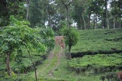 Bellezza del giardino di tè fotografia stock libera da diritti