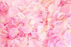 Bellezza del petalo della peonia Fotografia Stock