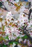 Bellezza delicata - petali di un albero di fioritura Mosca contenuta Fotografie Stock Libere da Diritti