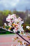 Bellezza delicata - petali di un albero di fioritura Mosca contenuta Fotografia Stock Libera da Diritti
