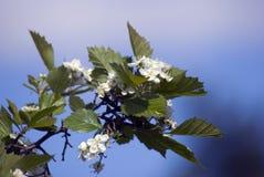 Bellezza delicata - petali di un albero di fioritura Mosca contenuta Immagine Stock