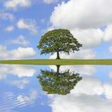 Bellezza dell'albero di quercia fotografia stock libera da diritti