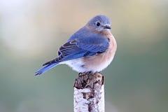 Bellezza dell'uccellino azzurro fotografia stock libera da diritti