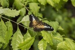 Bellezza della farfalla su una foglia fotografia stock libera da diritti