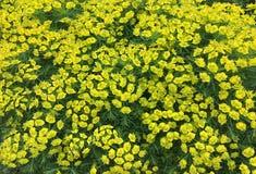 Bellezza della natura, fiori gialli di fioritura adorabili fotografie stock libere da diritti
