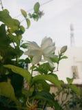 Bellezza della pianta del fiore di Mogra fotografia stock
