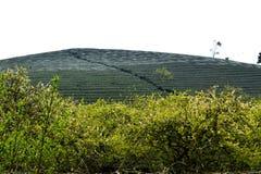 Bellezza della piantagione della prugna nel plateau di Moc Chau, Vietnam Fotografia Stock