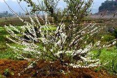 Bellezza della piantagione della prugna nel plateau di Moc Chau, Vietnam Immagine Stock Libera da Diritti