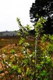 Bellezza della piantagione della prugna nel plateau di Moc Chau, Vietnam Immagini Stock Libere da Diritti