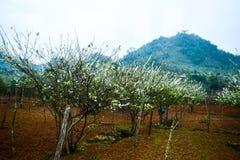 Bellezza della piantagione della prugna nel plateau di Moc Chau, Vietnam Fotografie Stock Libere da Diritti