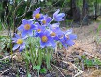 Bellezza di Bush del fiore del giardino di bucaneve della primavera Immagine Stock