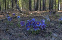 Bellezza di Bush del fiore del giardino di bucaneve della primavera Fotografie Stock Libere da Diritti