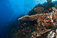 Bellezza di corallo Fotografia Stock