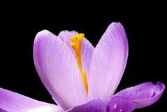 Bellezza di croco Fotografia Stock