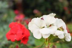 Bellezza e crescita dei petali Fotografia Stock Libera da Diritti