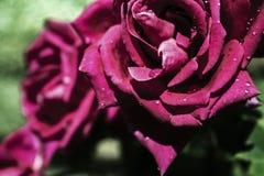 Bellezza e rose della natura fotografia stock