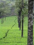 Bellezza paesaggistica, piante di tè Fotografia Stock