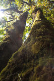 Bellezza patern dell'albero del rododendro nella foresta Fotografia Stock