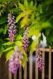 Bellezza piantata nel grande traliccio di glicine Fotografie Stock Libere da Diritti