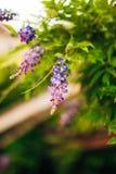 Bellezza piantata nel grande traliccio di glicine Fotografia Stock Libera da Diritti