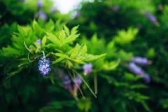 Bellezza piantata nel grande traliccio di glicine Immagine Stock